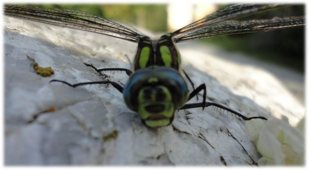 Bauchlandung einer Libelle mit Wiedererkennungswert