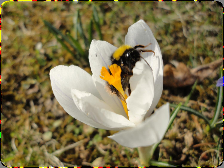 Biene&Schneeglöckchen