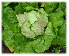 Salat Maria Lankowitz